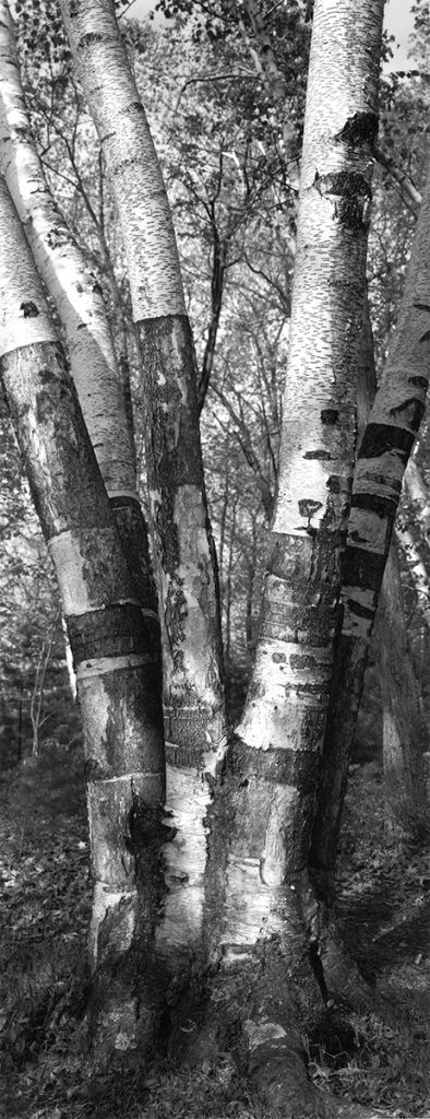 Thaddeus Holownia Tree XXV, from Walden Revisited: Twenty - Four Tree Studies for Henry David Thoreau . 2001 - 2003